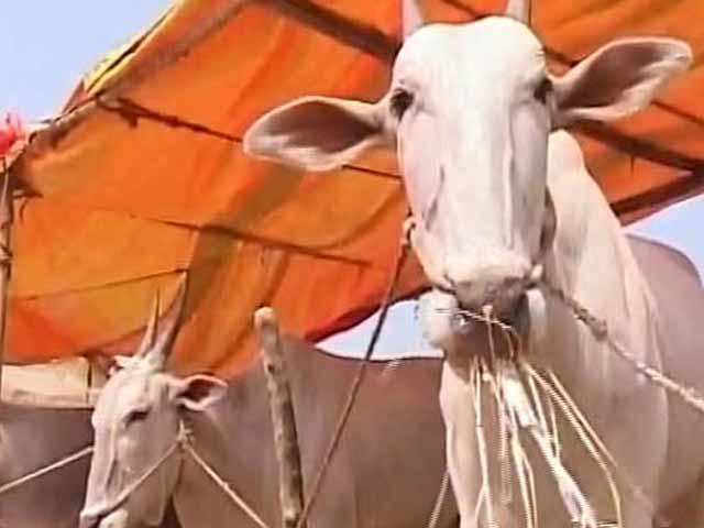Video : Farmers Forced To Sell Cattle In Drought-Hit Karnataka, But Not Many Takers