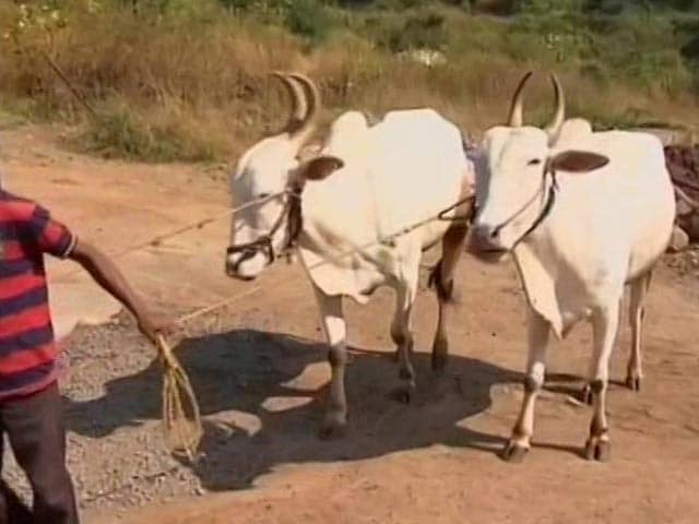 Video : Can Eat Or Keep Beef Brought From Outside Maharashtra: Bombay High Court