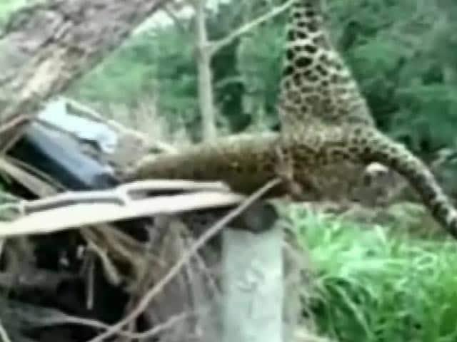 Video : मुर्गी फार्म में पहुंचा तेंदुआ फंसा जाल में, गांव वालों ने पेड़ से लटकाया