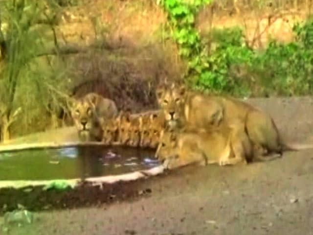 Videos : गुजरात के गीर के जंगलों में नौ शेर एक साथ पी रहे पानी, देखें