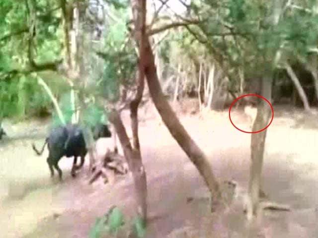 Videos : जब एक भैंस से डरकर दुम दबाकर भाग खड़ी हुई शेरनी