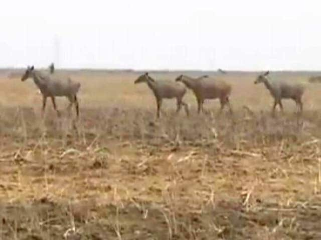 Video : 200 Nilgai Shot. Required, Says One Minister. Unacceptable, Says Another