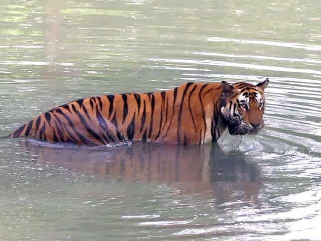 Videos : बाघों के लिए ख़तरा बन सकती है केन-बेतवा नदियों को जोड़ने की परियोजना