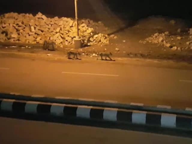 Video : Video Of 8 Lions Roaming Gujarat Town Causes Panic