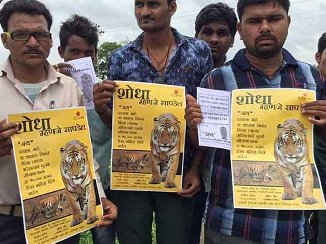 Video : Over 150 People Looking, Rs. 50,000 Reward For Jai The Missing Tiger