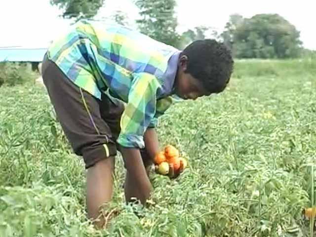 Video : Telangana's Tomato Overkill: Rs. 5 A Kilo, Farmers Desperate