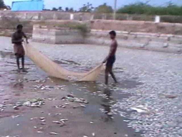 Video : Thousands Of Dead Fish At Tamil Nadu Temple Tank