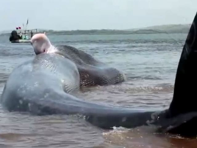Video : Caught On Camera: 47-Feet-Long Blue Whale Rescued Along Konkan Coast