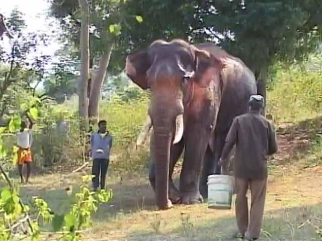 Video : 50 से ज्यादा दिनों से बीमार था हाथी 'सिद्धा', शुरू हुआ इलाज