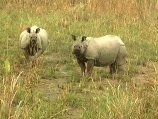 Video : One More Rhino Killed In Kazhiranga, BJP Under Pressure To Stop Poaching