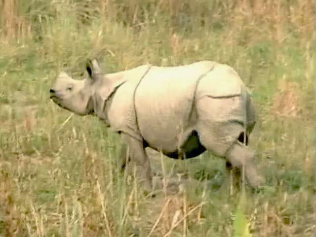 Video : असम : काजीरंगा नेशनल पार्क में इस साल एक सींग वाले 15 गैंडों की मौत