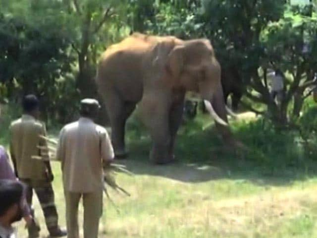 Video : Stuck At Dam For Over 40 Days, Injured Elephant Sidda Gets Treatment