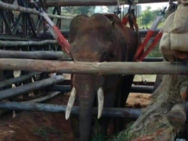 Video : Army Helps Sidda The Elephant Stand Again