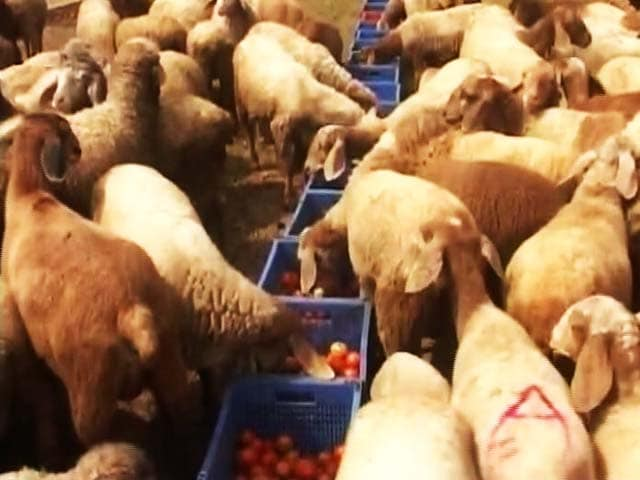 Video : When Cash Crunch Led To A Tomato Feast For Sheep In Karnataka