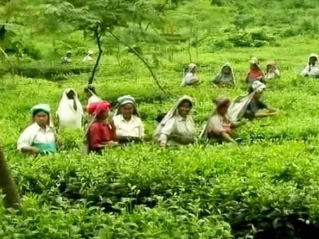 Video : Always Paid In Cash, Bengal Tea Garden Workers Open First Bank Accounts