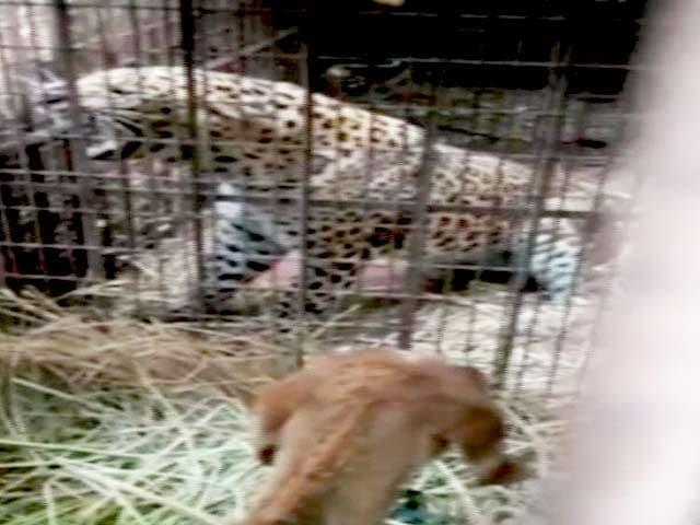 Videos : दिल्ली : यमुना बायो डायवर्सिटी पार्क में पकड़ा गया तेंदुआ