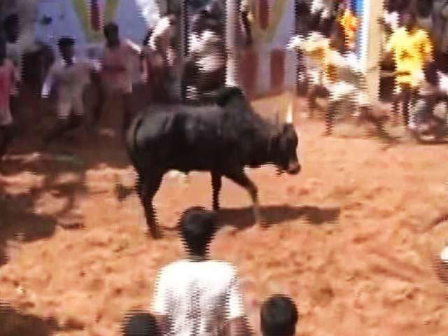 Video : 'Will Ensure Jallikattu Is Held,' Promises Chief Minister O Panneerselvam