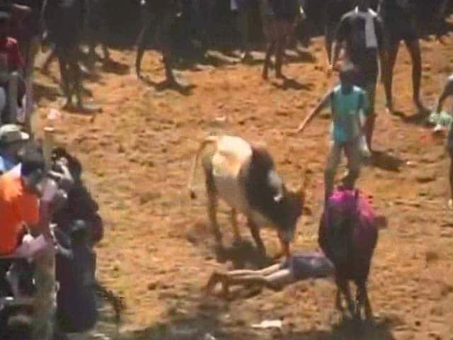 Video : In Tamil Nadu, Group Holds Mini-Jallikattu Defying Supreme Court Order