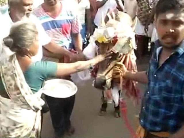 Video : Tradition Trumps Law As Tamil Nadu's Madurai Holds Jallikattu