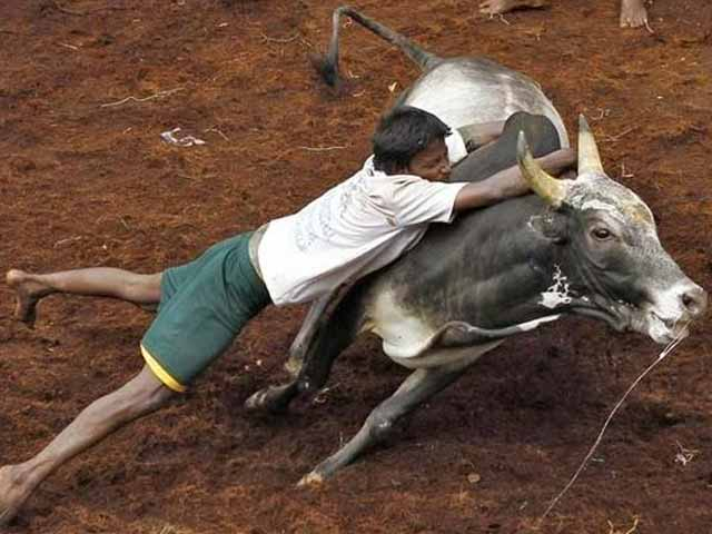Video : New Law To End Ban On Jallikattu Cleared By Tamil Nadu