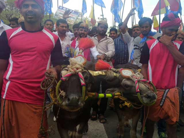 Video : जल्लीकट्टू की तर्ज पर कर्नाटक में 'कंबला' की मांग तेज