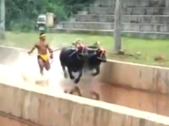 Video : Reintroduce Kambala? First Say It Right, Insists Siddaramaiah
