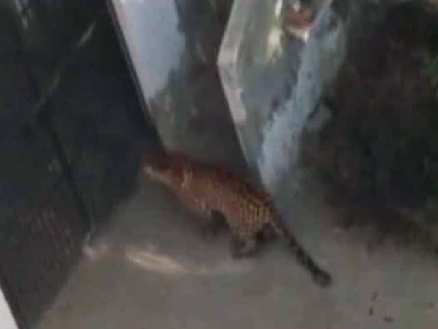 Videos : पलवल : रिहायशी इलाके में घुसा तेंदुआ, लोगों में डर का माहौल