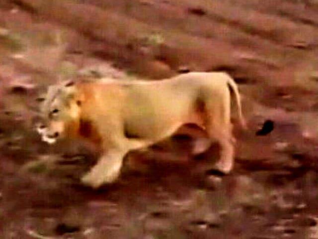 Videos : गुजरात: तीन शेर गिर के जंगल से आए, गांव में घूमे और वापस चले गए