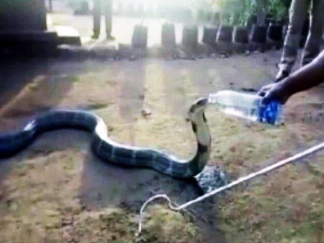 Videos : जब किंग कोबरा ने बोतल से पिया पानी