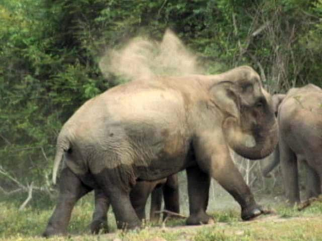 Video : Karnataka Counts Its Elephants, Hopes To Remain State With Highest Pachyderm Population