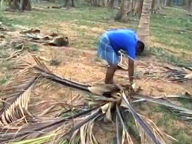 10 Lakh Coconut Trees Die Due To Drought In Tamil Nadu's Salem District