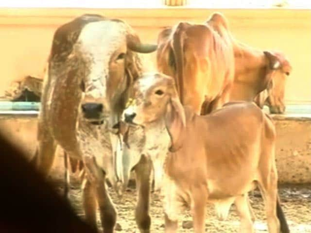 In Gujarat, Cows Get Digital Implant As 'Aadhaar' IDs For Cattle Begins
