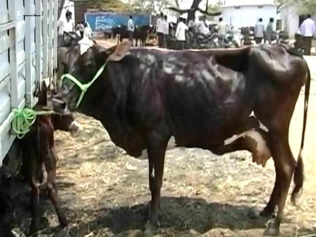 Videos : प्राइम टाइम इंट्रो : जानवरों के प्रति क्रूरता रोकने के नए नियमों को लागू करेगा कौन?