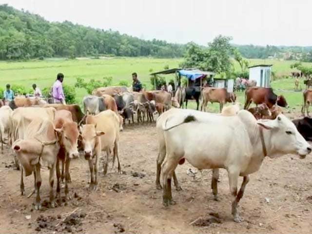 Video : बड़ी ख़बर : राजस्थान हाईकोर्ट का सुझाव - गाय को राष्ट्रीय पशु घोषित किया जाए