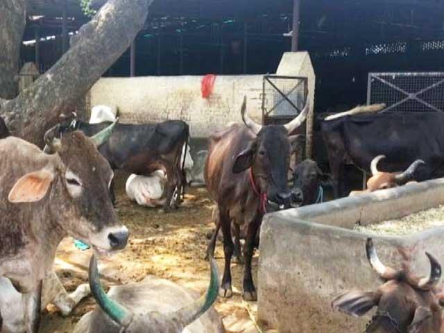 Video : गौरक्षकों का डर से गौशालाओं छोड़ रहे हैं किसान अपनी गाय