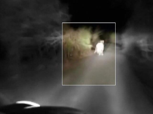 Video : In Video, Desperate Lion Cub Chased By Car in Gujarat