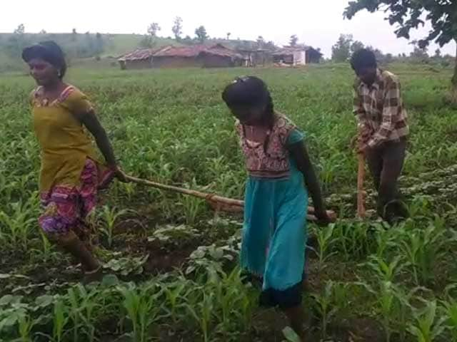 Video : In State That Pioneered 'Beti Bachao', Farmer's Daughters Plough Fields