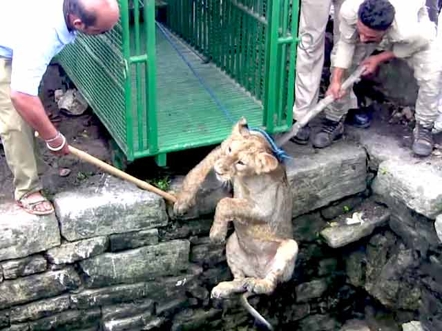 Video : Caught On Camera: Lion Cub In Gir Rescued From 80-Feet Well