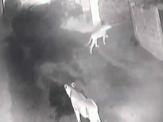 Video : Gulp. CCTV Shows Evening Stroll Of Gir Lions Through Village
