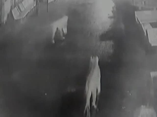 Video : गुजरात के गांव में घुसे 12 शेर, सीसीटीवी में कैद हुईं तस्वीरें
