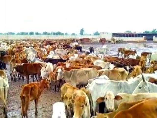 Video : छत्तीसगढ़ : दो गौशालाओं में भूख से बड़ी संख्या में गायों की मौत