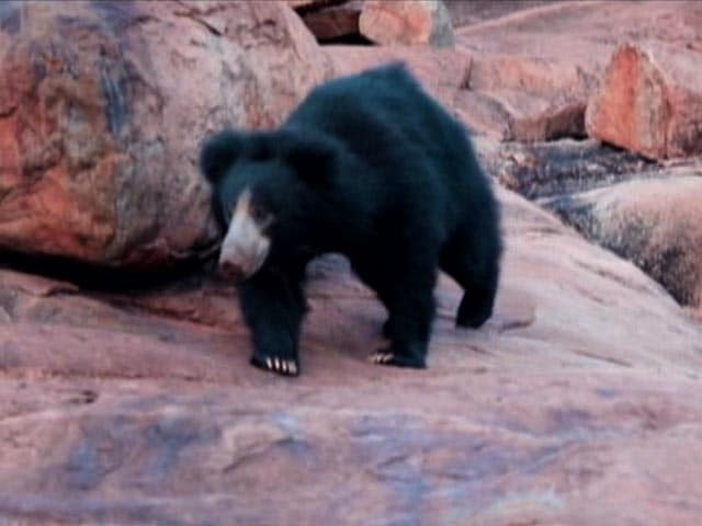 Video : What Does A Sloth Bear Want: The Bear Necessities