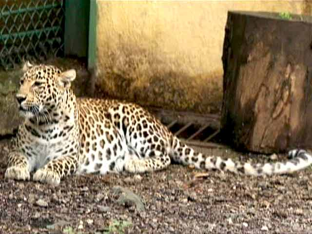 Video : Born Wild: Sharing Spaces With The Leopards