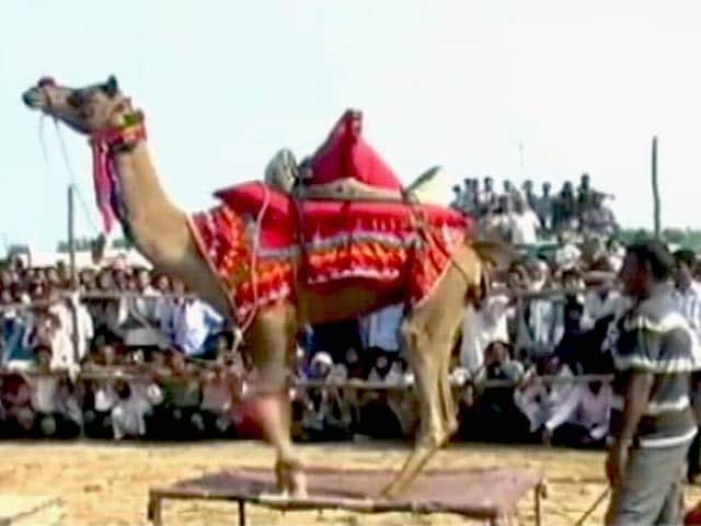 Video : राजस्थान में नागौर के पशु मेलों में गाय-बैल-बछड़ों की बिक्री हुई कम