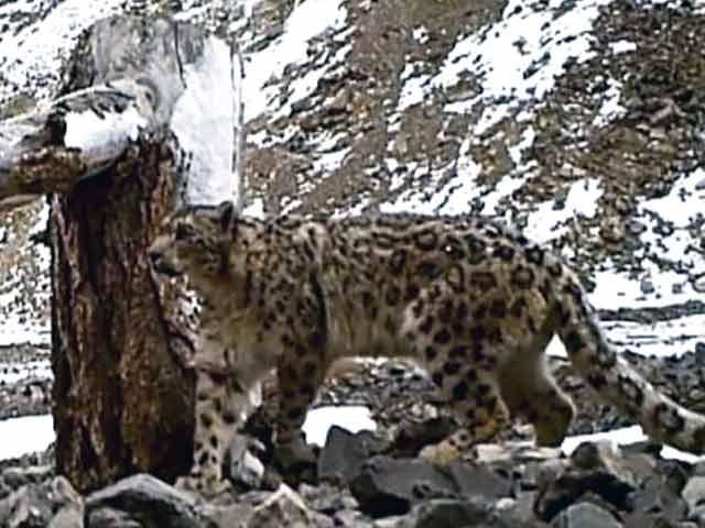 Videos : सफारी इंडिया: हिम तेंदुए सिर्फ हिमालय की ऊंची पहाड़ियों पर रहते हैं, देखना बेहद मुश्किल
