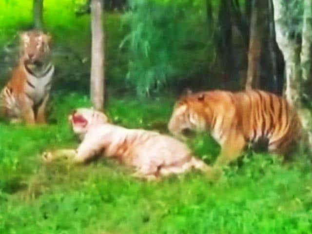 Video : In Brawl Between 4 Big Cats In Bengaluru, A 9-Year-Old White Tiger Dies