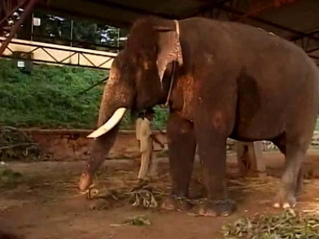 Video : Meet Arjuna The Elephant, The Life Of Dasara Celebrations In Mysore