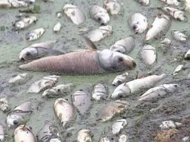 Video : हैदराबाद के गंडीगुडेन झील में लाखों मछलियों की मौत