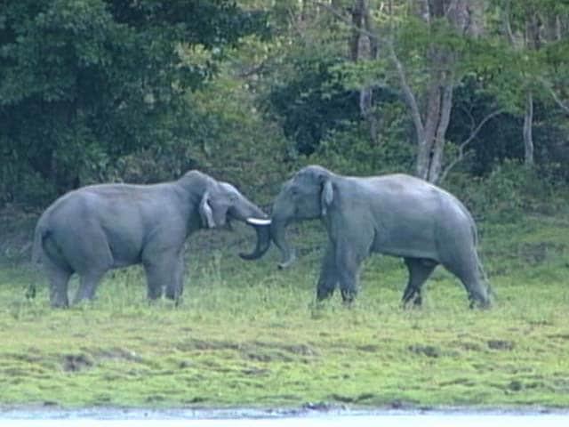Video : Asian Elephants: Gods Who Walk Amongst Us