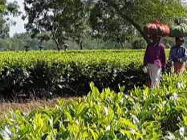 Video : 1 Year Of Notes Ban: Being Cashless A Distant Dream In Assam Tea Gardens